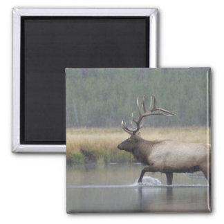 Bull Elk crossing river in snowstorm, 2 Inch Square Magnet