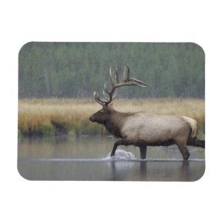 Bull Elk crossing river in snowstorm, Rectangular Photo Magnet