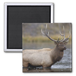 bull elk crossing river, Yellowstone NP, Wyoming 2 Inch Square Magnet