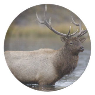 bull elk crossing river, Yellowstone NP, Wyoming Melamine Plate