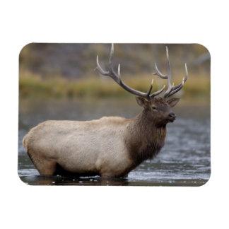 bull elk crossing river, Yellowstone NP, Wyoming Rectangular Photo Magnet