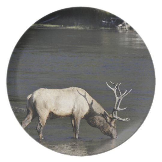 Bull Elk Drinking from Madison River Plate