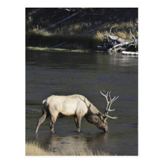 Bull Elk Drinking from Madison River Postcard