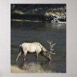 Bull Elk Drinking from Madison River Print