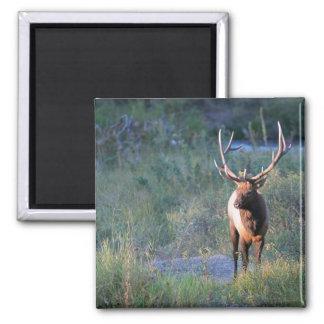 Bull Elk Fridge Magnets