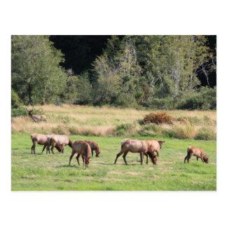 Bull Elk & Harem Post Cards
