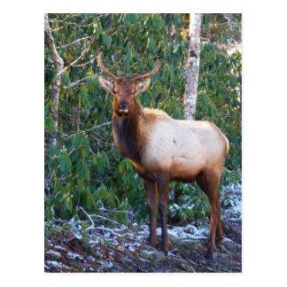 Bull Elk in Rhododendrons Postcards