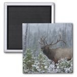Bull Elk in snow calling, bugling, Yellowstone 2 Inch Square Magnet