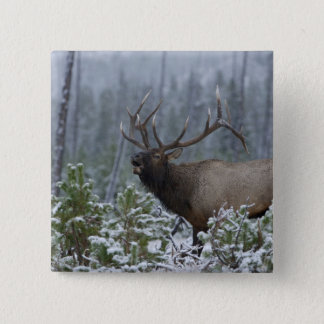 Bull Elk in snow calling, bugling, Yellowstone Button