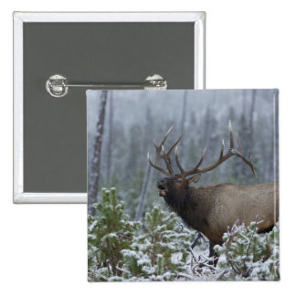 Bull Elk in snow calling, bugling, Yellowstone Button