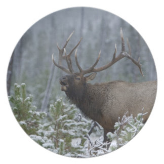 Bull Elk in snow calling, bugling, Yellowstone Melamine Plate
