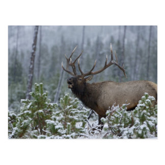 Bull Elk in snow calling, bugling, Yellowstone Postcard