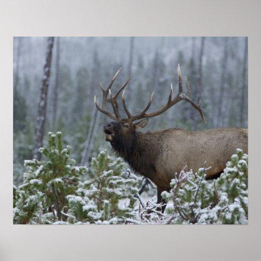 Bull Elk in snow calling, bugling, Yellowstone Print