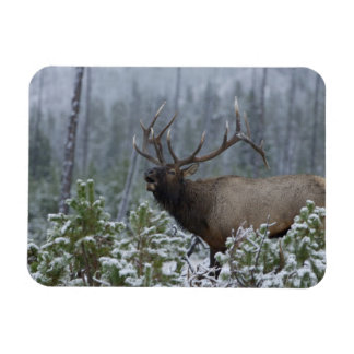 Bull Elk in snow calling, bugling, Yellowstone Rectangular Photo Magnet