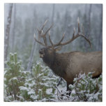 "Bull Elk in snow calling, bugling, Yellowstone Tile<br><div class=""desc"">COPYRIGHT Rolf Nussbaumer / DanitaDelimont.com | US51 RNU0028.jpg | Bull Elk in snow calling,  bugling,  Yellowstone NP,  Wyoming</div>"