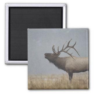 Bull Elk in snow storm calling, bugling, 2 Inch Square Magnet