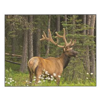 Bull elk in velvet, Canada Wood Print