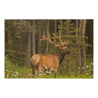 Bull elk in velvet, Canada Wood Wall Art