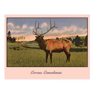Bull Elk in Yellowstone park Postcard