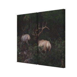 Bull Elk Mating Season Canvas Print