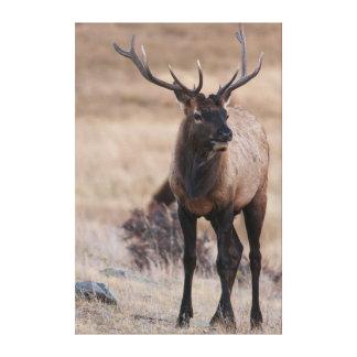 Bull Elk or Wapiti Canvas Print