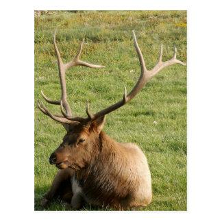 Bull Elk Post Cards