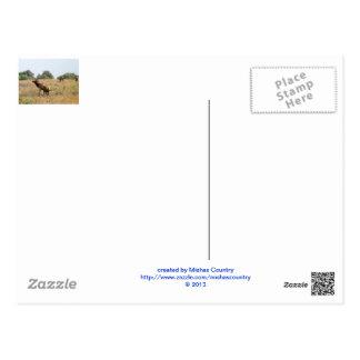 Bull Elk Postcards