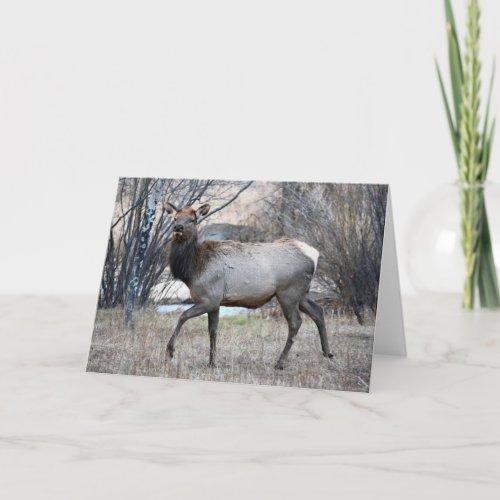 Bull Elk Resting Card