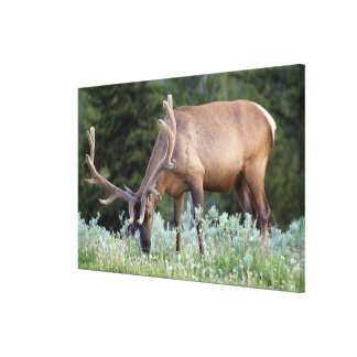 Bull Elk with antlers in velvet grazing in Canvas Print