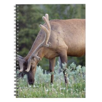 Bull Elk with antlers in velvet grazing in Notebook