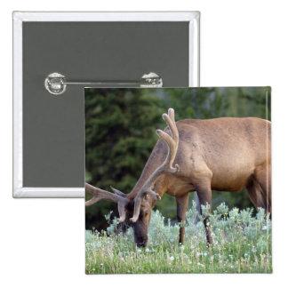 Bull Elk with antlers in velvet grazing in Pinback Button