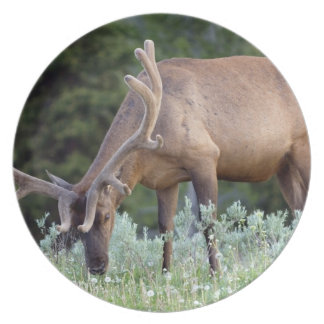 Bull Elk with antlers in velvet grazing in Party Plates