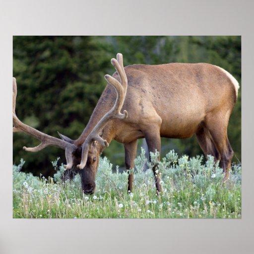 Bull Elk with antlers in velvet grazing in Poster