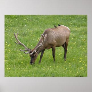Bull elk with bird visitors print