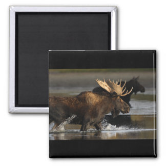 Bull Moose 2 Inch Square Magnet