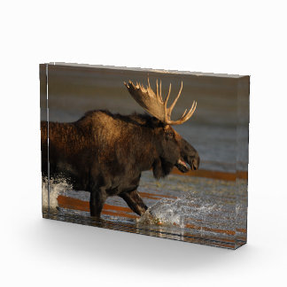Bull Moose Acrylic Award