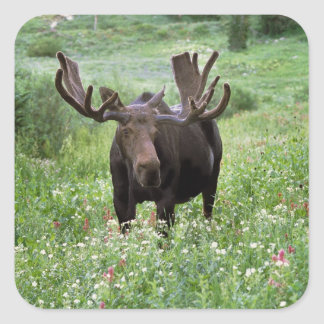 Bull moose Alces alces) in wildflowers, Square Sticker