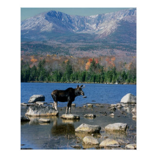 Bull Moose and Mount Katahdin Poster