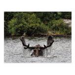 Bull moose at Sandy Stream Pond Postcard