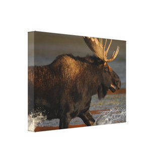 Bull Moose Stretched Canvas Print