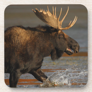 Bull Moose Drink Coaster