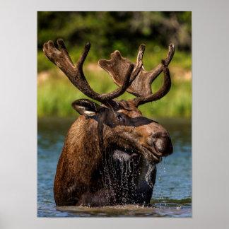 Bull moose feeding in Glacier National Park Poster