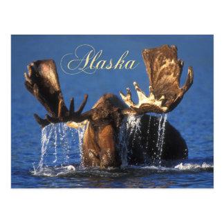 Bull moose in Alaskan tundra pond Postcards