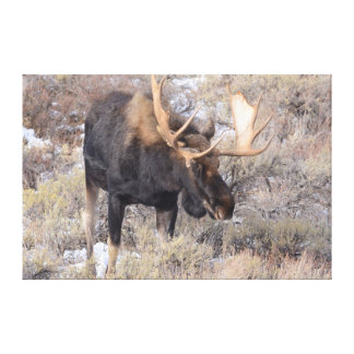 Bull Moose in field with Cottonwood Trees Canvas Print