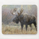 Bull moose in snowstorm with aspen trees in mousepad