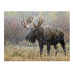 Bull moose in snowstorm with aspen trees in postcard