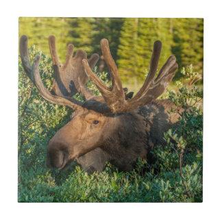 Bull moose in velvet, Colorado Ceramic Tile