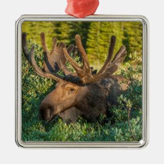 Bull moose in velvet, Colorado Metal Ornament