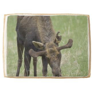 Bull Moose Jumbo Cookie