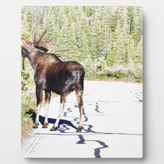 Bull Moose Munching in The Road Plaque